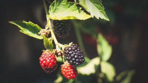 summer holiday blackberries